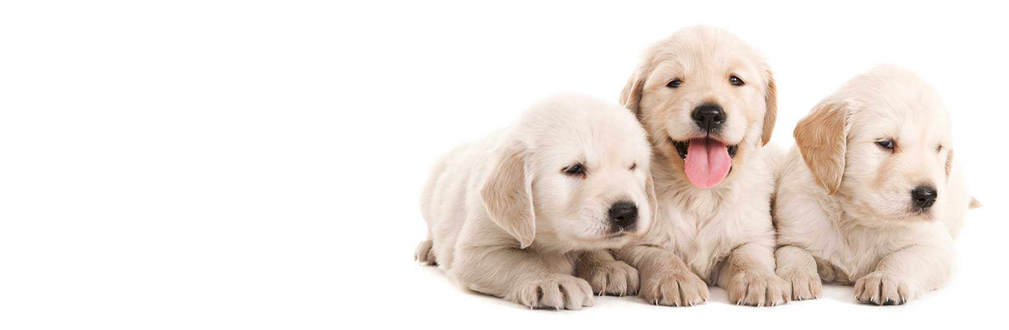 FREE breeder transfers with AVID pet MicroChips in the UK